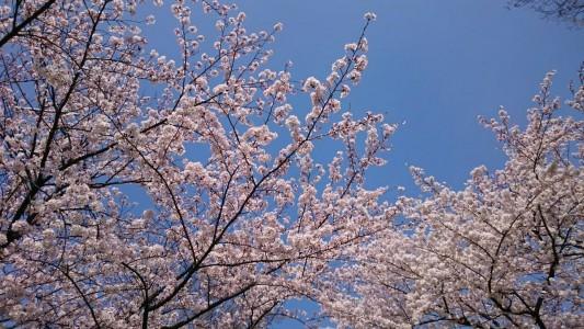 クリニック裏の公園の桜